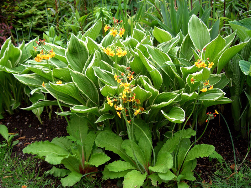 3 Balfour Cottage hosta and primulas