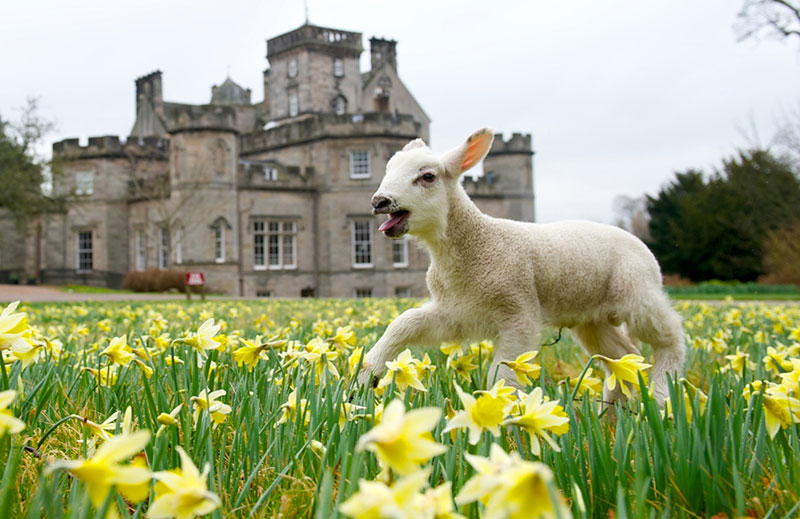 Lamb frolicking in the daffodils at Winton Castle