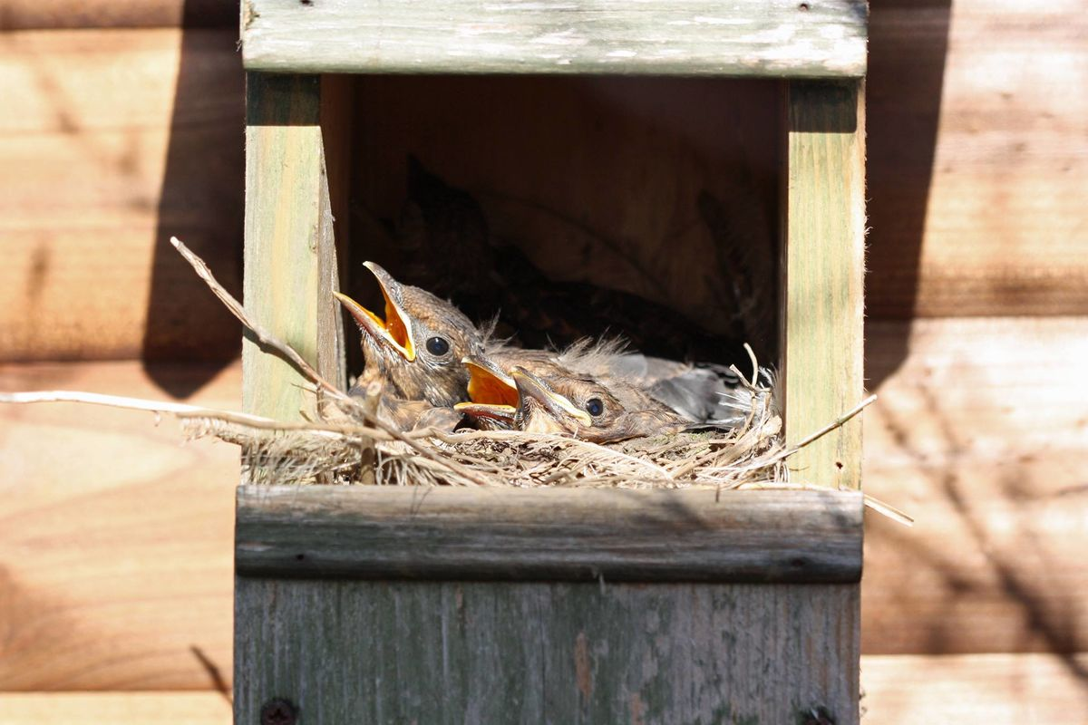 Blackbirds nesting in a Robin nest box