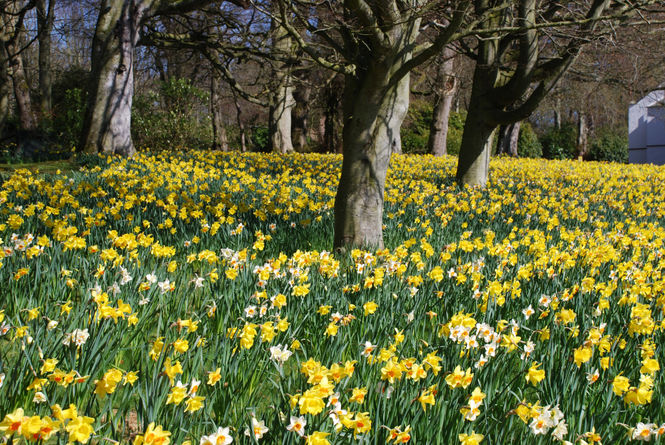 Daffodils in the sunshine at Auchmacoy, Aberdeenshire
