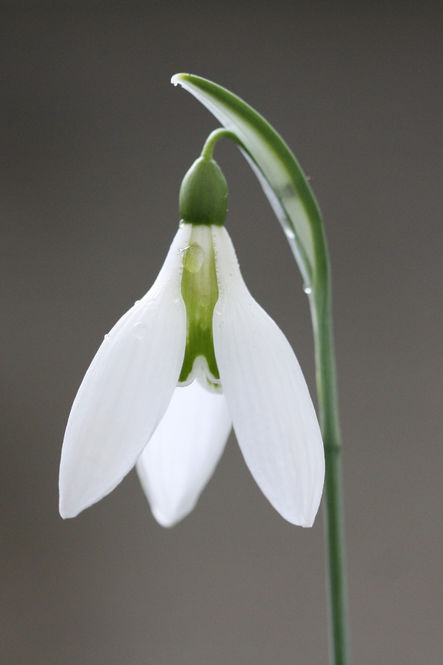 A garden owner's musing on snowdrops
