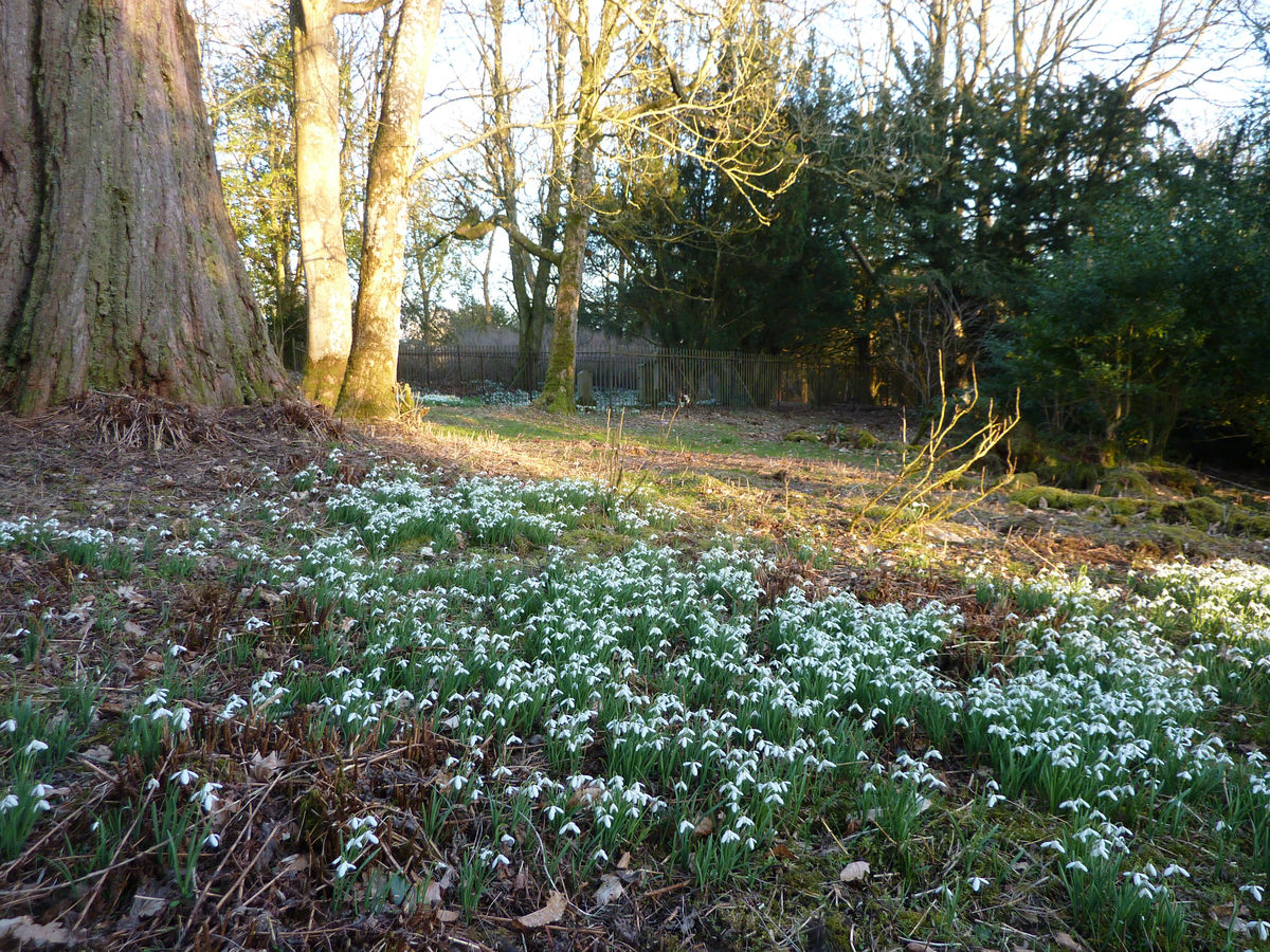 Swathes of snowdrops at Cleghorn, Lanarkshire