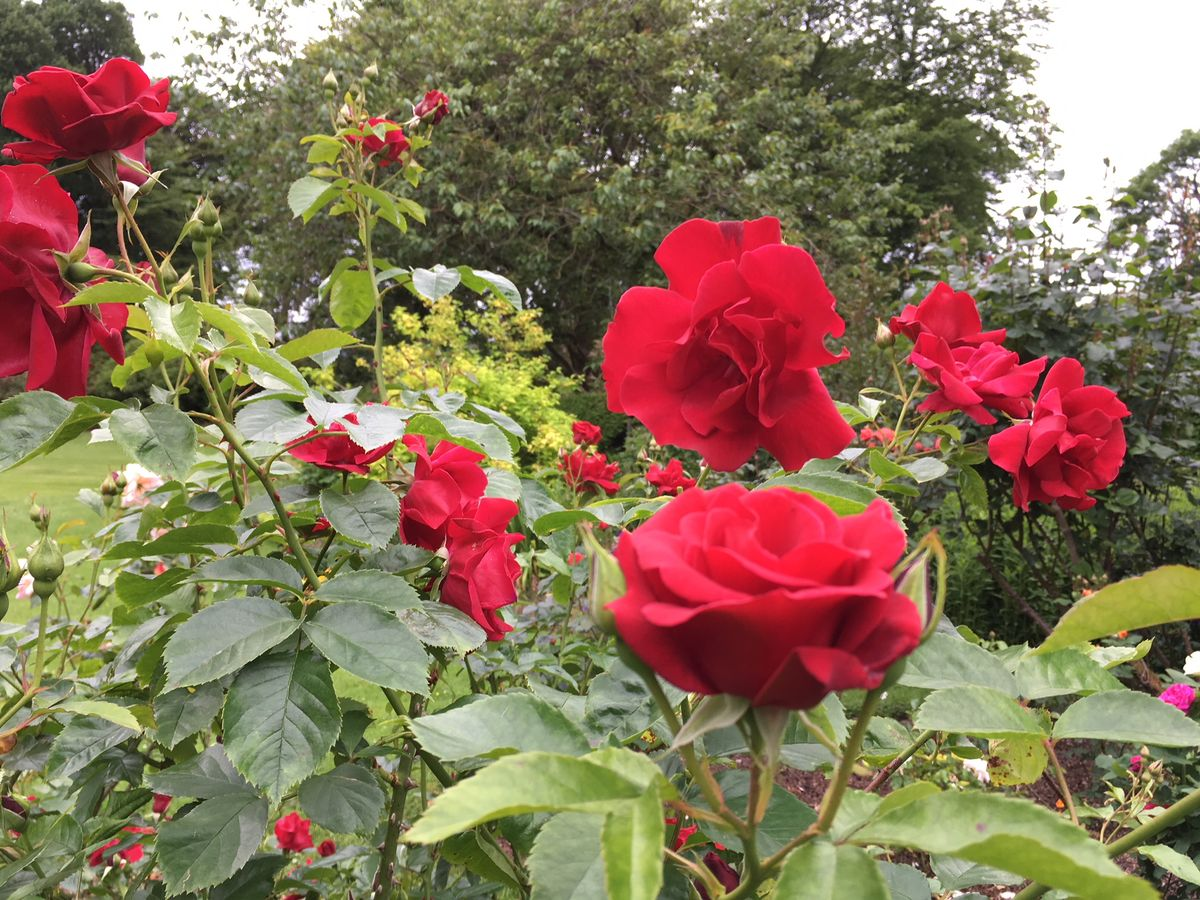 'Frensham' rose at Drumstinchall House