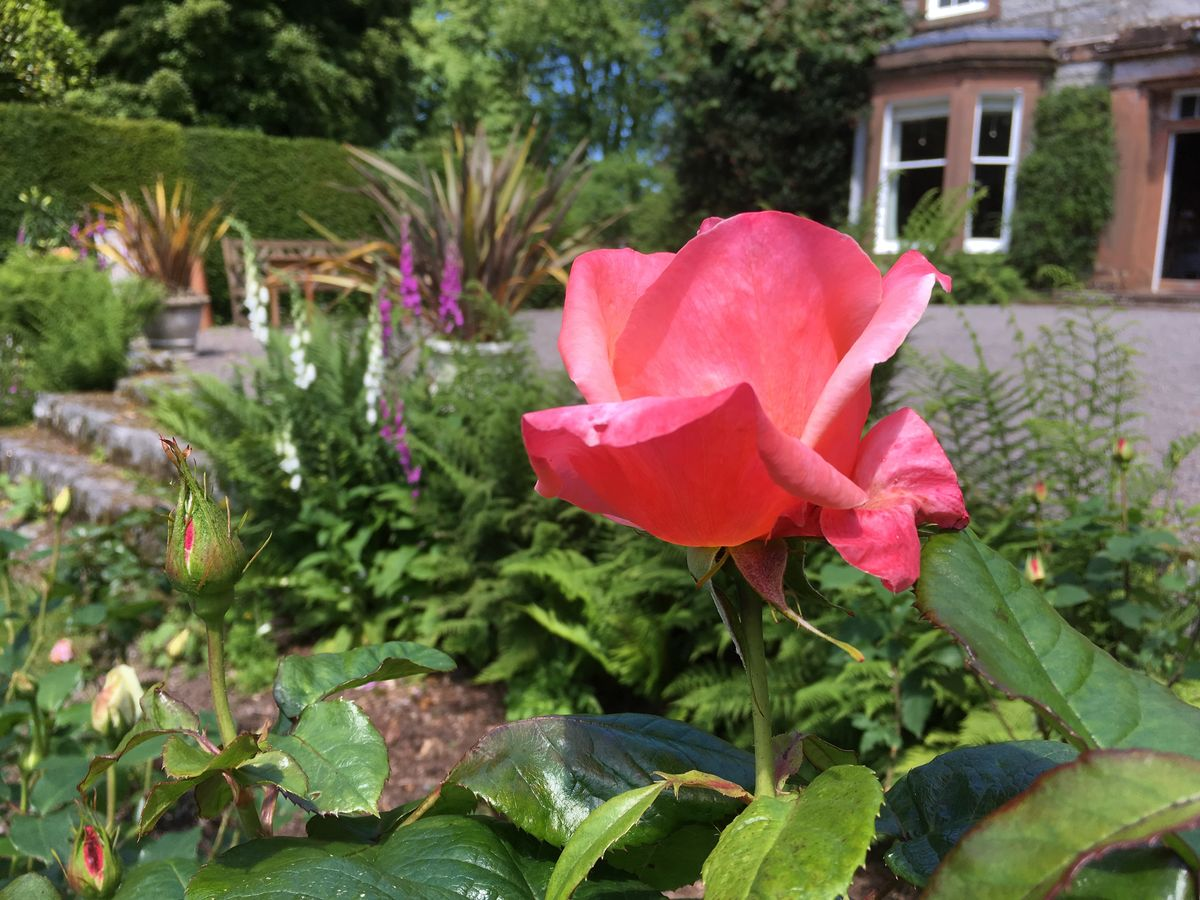 'Nostalgia' rose at Drumstinchall House