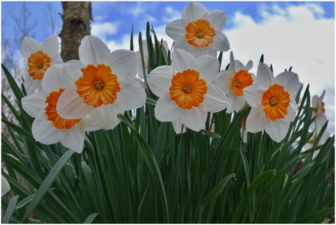Daffodils at West Leas, Roxburghshire