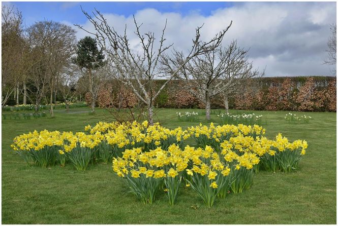 Daffodils in The Orchard at West Leas, Roxburghshire