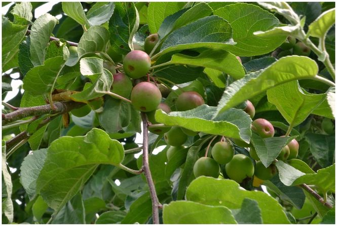 Apples growing at West Leas