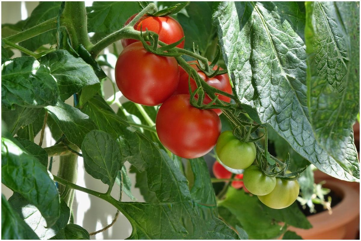 Tomatoes in the hot house