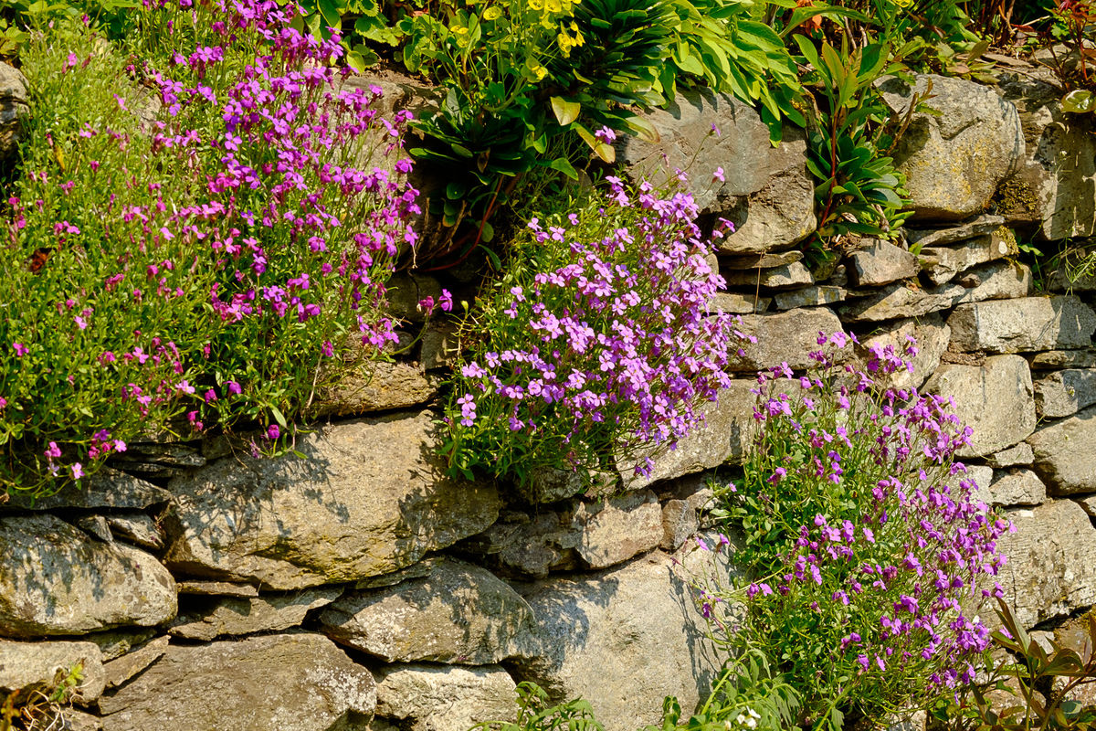 Mill of Forneth, rock garden plants on stone wall