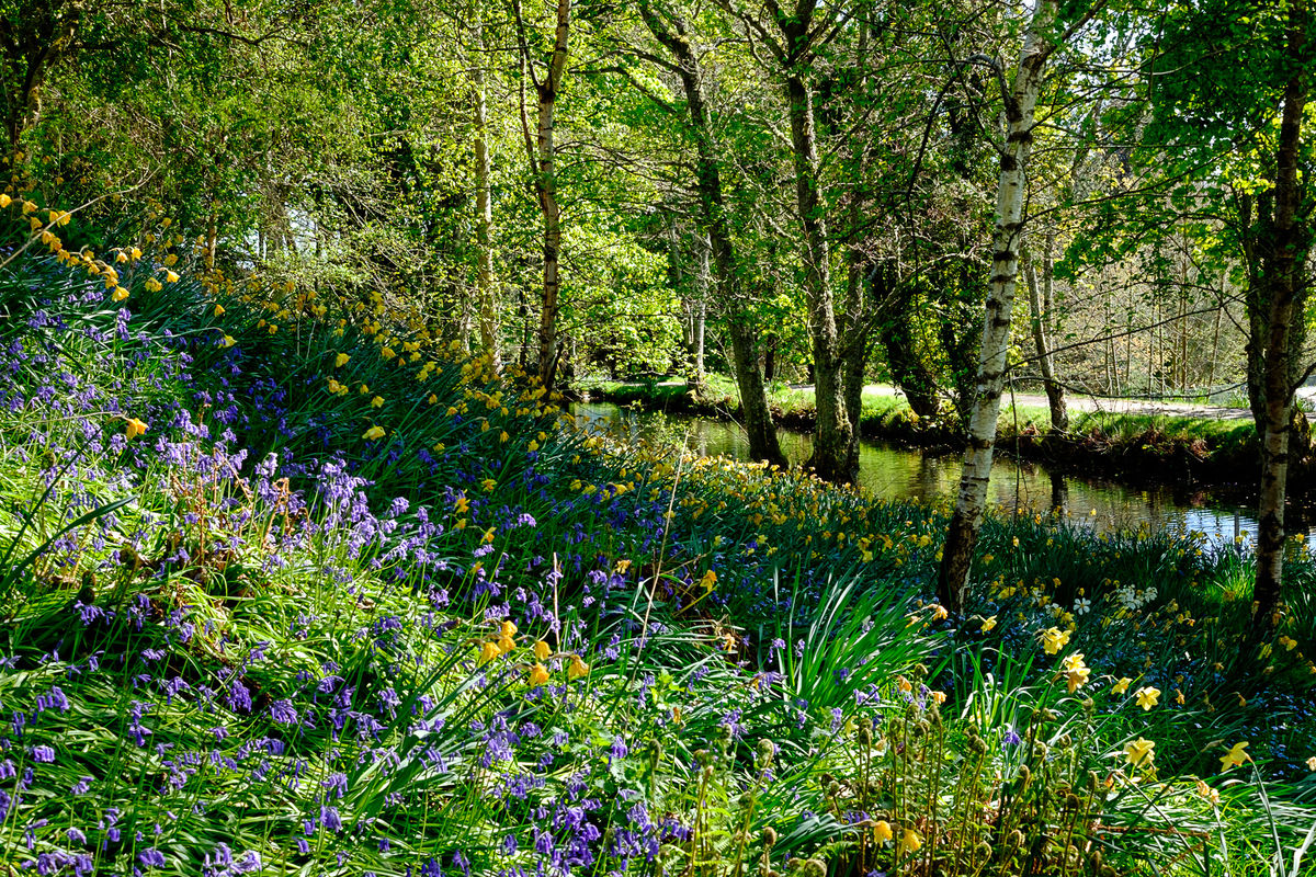 Mill of Forneth bluebells and daffodils