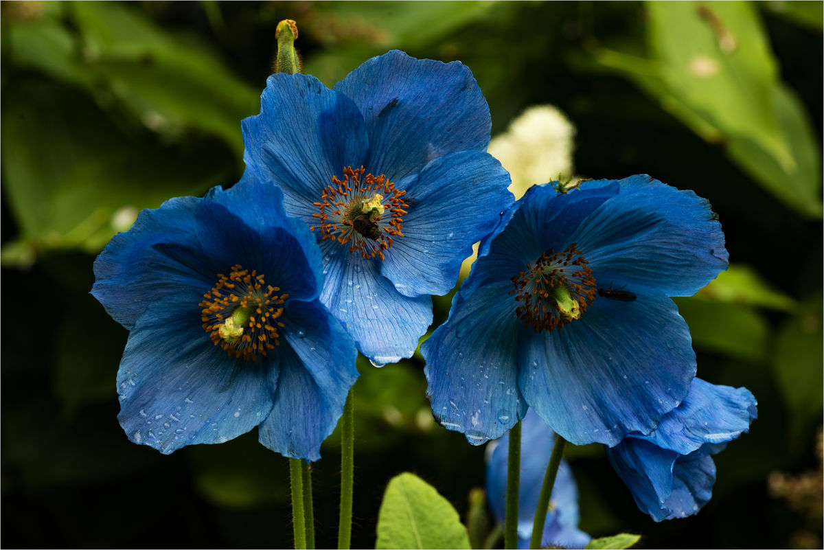 Barnweil Garden Meconopsis close up
