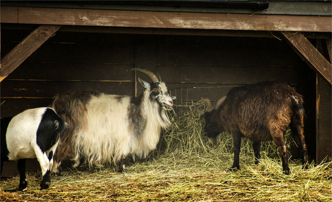 Pygmy Goats at Clover Park - Photo by David Blatchford