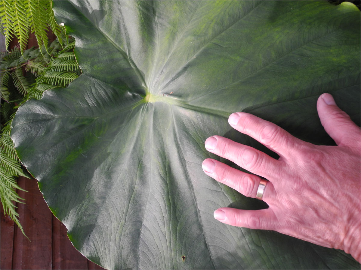 1 Burnton Road Single leaf Colocasia