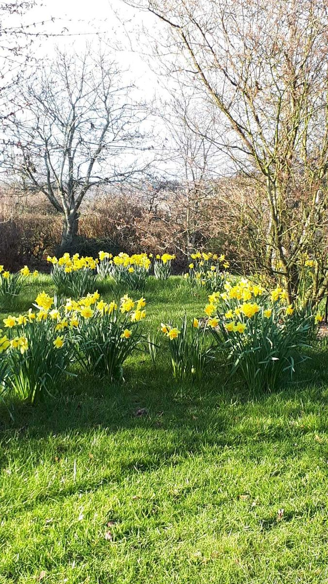 Old Farm Cottage, Daffodils in May