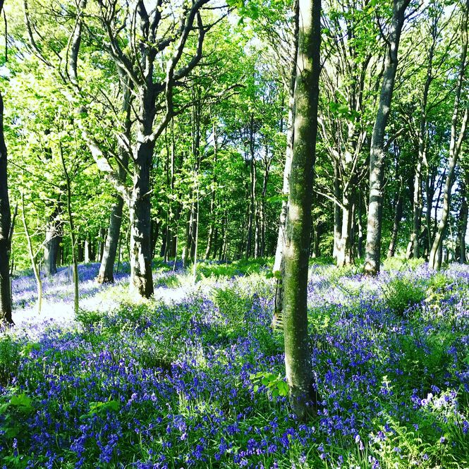 Gardyne Castle Virtual Walk through Bluebells