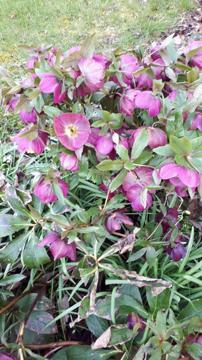 Old Farm Cottage, Hellebores