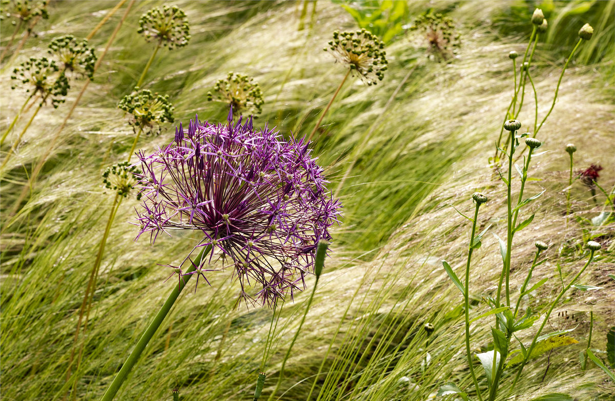 1 Burnton Road. Allium amidst grasses