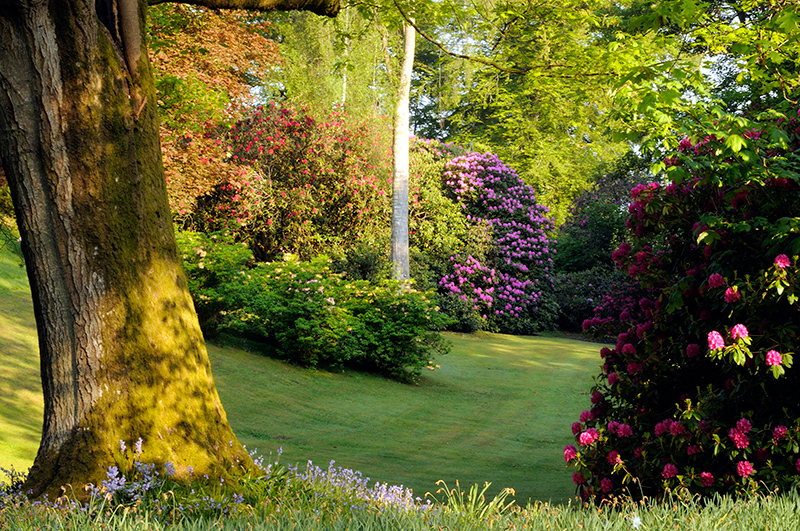 A multitude of rhododendrons at Dalswinton House