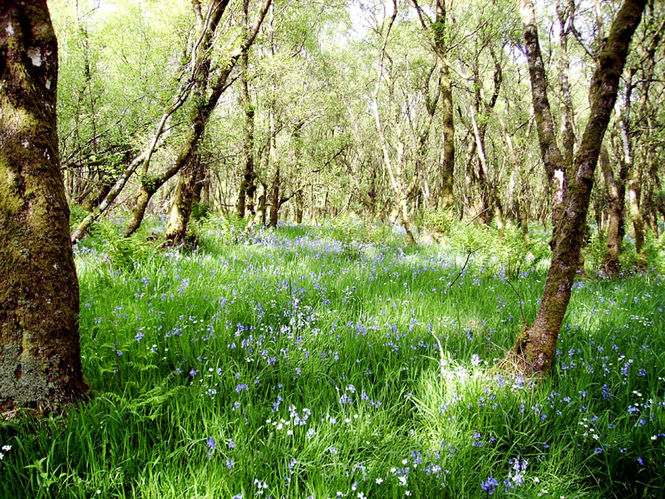 Highwood Bluebells Virtual Garden Tour